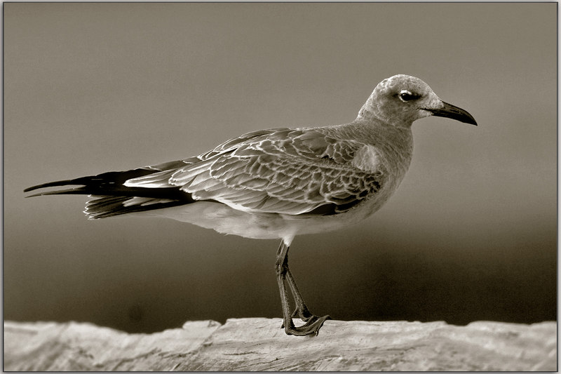 Gull: duotone<br /> 9/10/2006