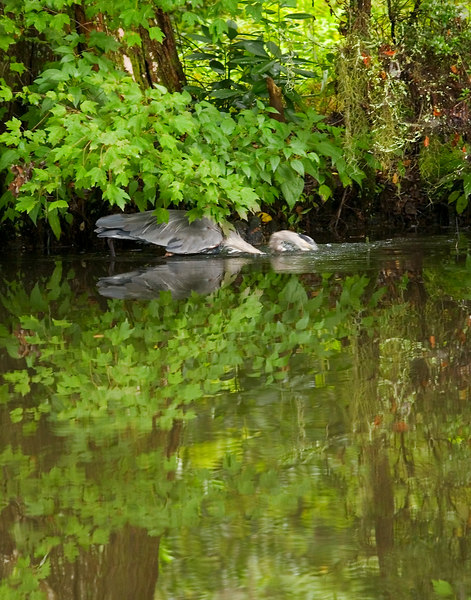 Great Blue Heron Dipping, for fish.<br /> Taken 9/4 for Thurs/today!