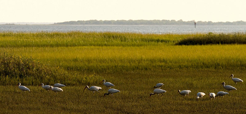 Ibis grazing the marsh at low tide<br /> worked up 9/24 for Monday<br /> Pitt Street Bridge Series