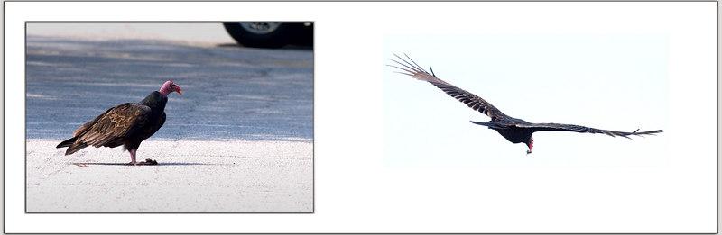 Road Kill and the turkey vulture<br /> 9/10/2006