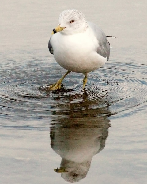 Seagull..........he is fishing with his foot like the wading birds do.