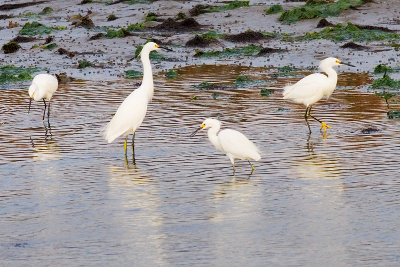 There were a bunch of birds together.  the ducks, the egrets and the tri color herons, they were like kids on a playground.<br /> <br /> Here the egrets are isolated, and I got what I think is a good shot of the group.