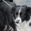 Hawes Sheepdogs 013