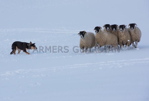 Hawes sheepdog sale 3rd March 2015