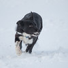 Craig, a 2 1/2 year old Black and White dog from John Bell of Newsholme sold for £2,415.