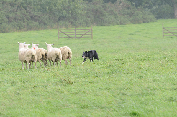 Scottish National Sheepdogs 2008