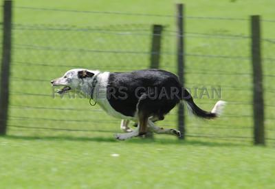 Skipton Sheepdog sale May 16th 2014