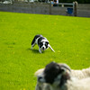Skipton Sheepdogs-9006