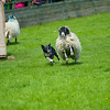 Skipton Sheepdogs-9102