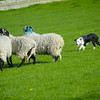 Skipton Sheepdogs-8905