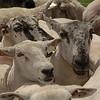 WORLD DOGS SHEEP