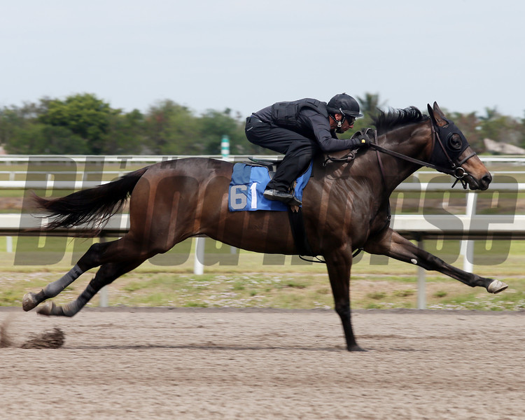 Hip 61, 2013 Fasig-Tipton Selected Two-Year Olds in Training Sale.<br /> filly; Giant's Causeway - Starship Voodoo, by Roar<br /> Photosbyz.com