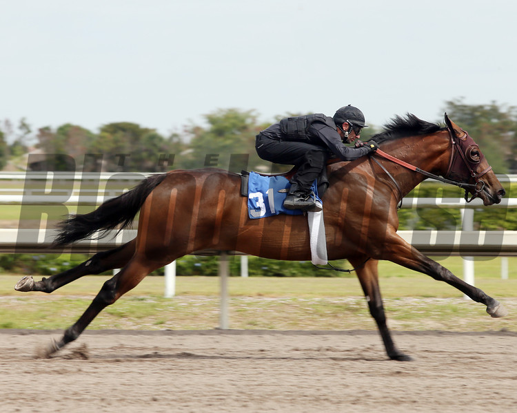 Hip 31, 2013 Fasig-Tipton Selected Two-Year Olds in Training Sale.<br /> filly; Congrats - Pelicus Affair, by Pentelicus<br /> Photosbyz.com