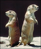 Prairie Dogs at the Arizona Sonora Desert Museum