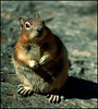 Golden Mantle Ground Squirrel at Crater Lake, Oregon