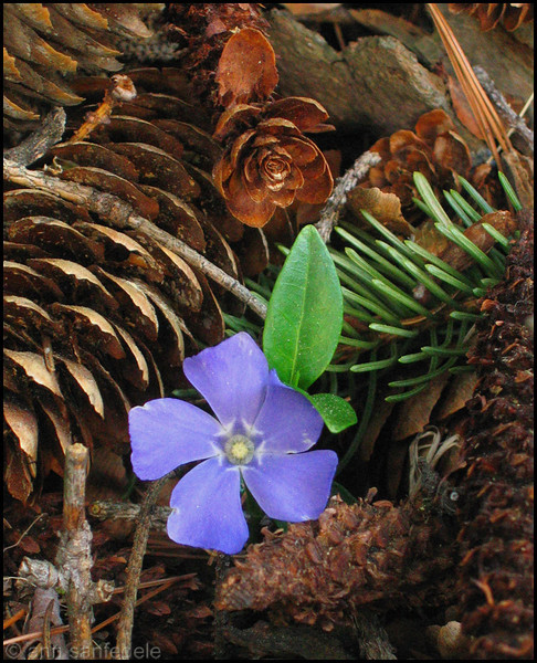 Periwinkle blossom and pine cones - Mountainville, New York