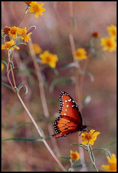 Striated Queen Butterfly near Madera Canyon, Arizona