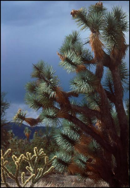 Cactus and Joshua Tree along the Joshua Tree Highway, Arizona