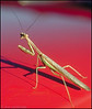 California Mantis on car hood in Albuquerque, New Mexico