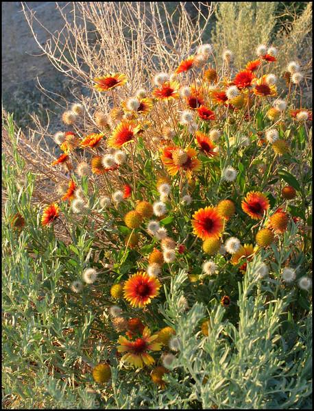 Desert bloom near Sparks, Nevada