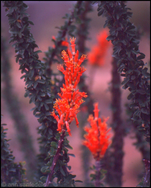 Ocotillo in bloom south of Tucson, Arizona
