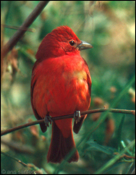 Summer Tanager at the Arizona Sonora Desert Museum - Tucson, Arizona