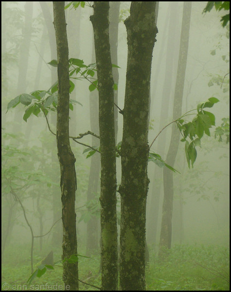 Morning Fog in the Forest at Grandfather Mountain, North Carolina