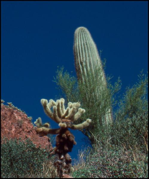 Cholla and Saguaro cacti west of Tucson, Arizona