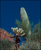 Cholla and Saguaro cacti west of Tucson, Arizona