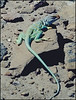 Collared Lizard at Chaco Canyon, New Mexico