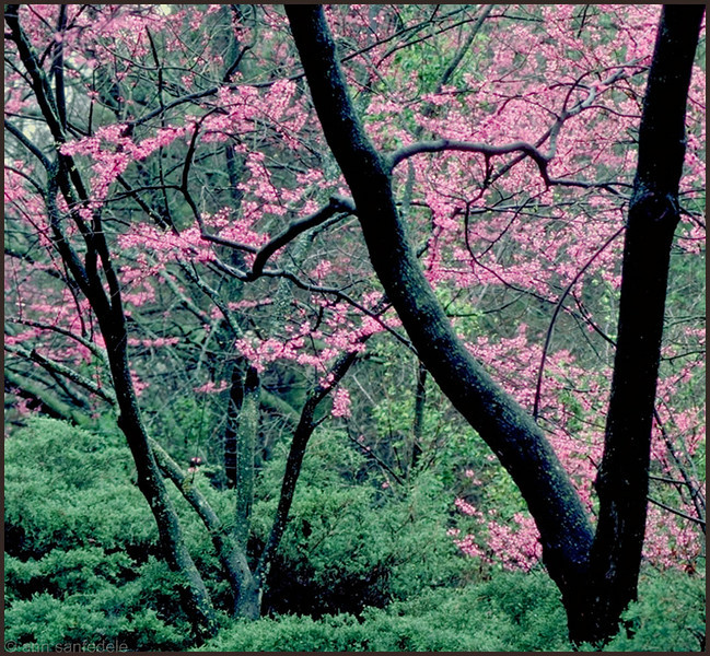 Redbud Trees in Muskogee, Oklahoma