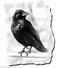 My friend Sam, the actual raven who lived in the painted desert near the Blue Mesa overlook