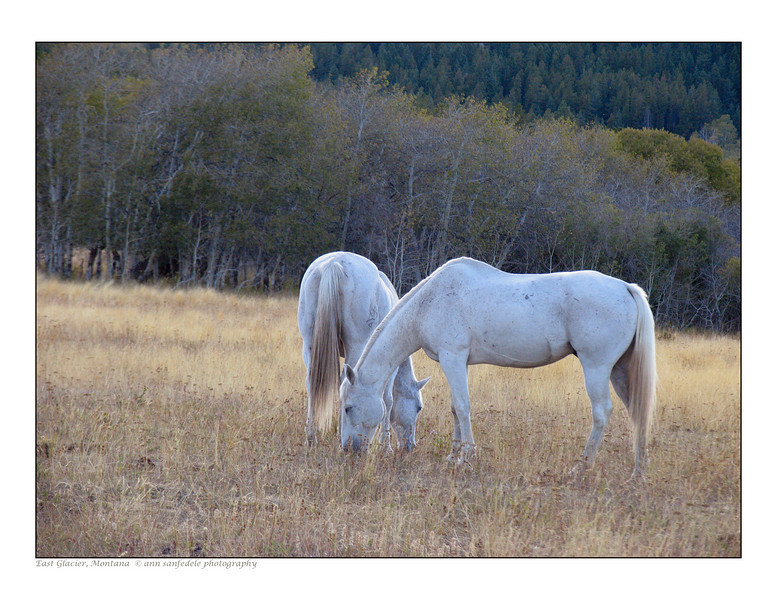 Grazing horses near the town of East Glacier, Wyoming - 2005