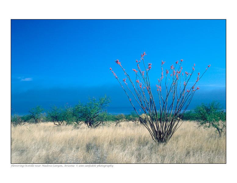 Ocotillo in bloom - near Madera Canyon - 1989?