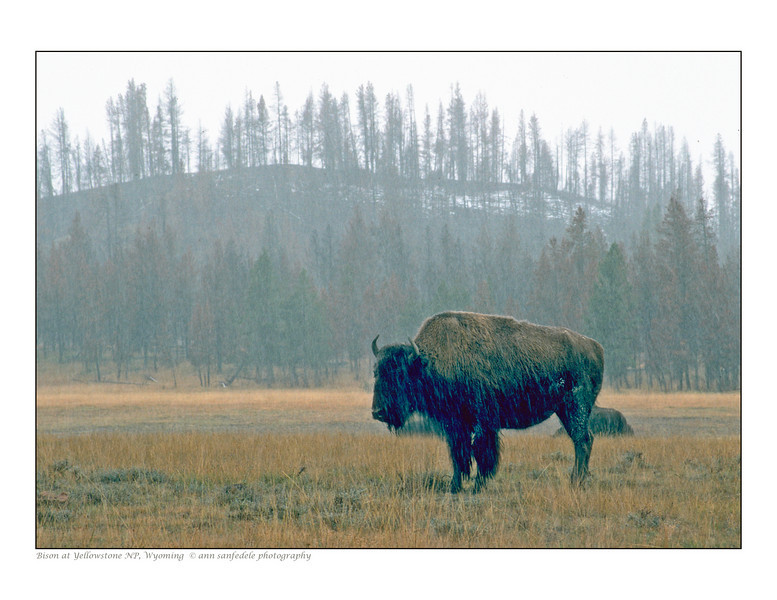 Bison at Yellowstone - October, 1989 (note burned trees on ridge)