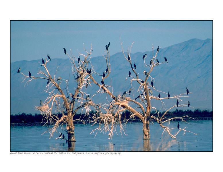 Great Blue Herons and their nests -- hosting a few migratory Cormorants at the Salton sea - 1984
