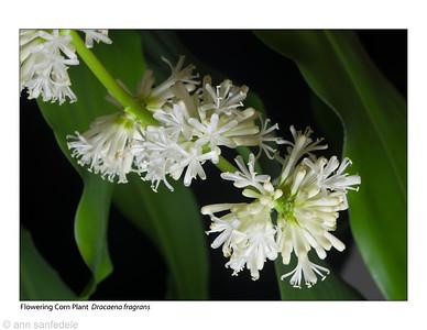 Dracaena Blossoms
