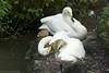 Bewick's Swans  <i>Cygnus bewickii</i>