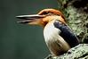 Female Micronesian Kingfisher <i>Todiramphus cinnamominus</i>