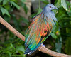 Nicobar Pigeon <i>Caloenas nicobarica</i>
