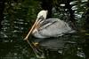 Brown Pelican <i>Pelecanus occidentalis</i>