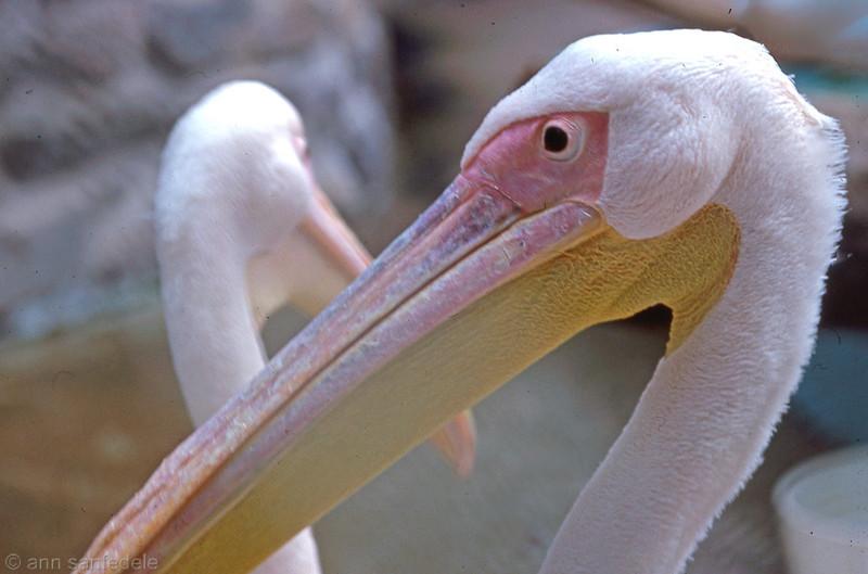 American White Pelican, <i>Pelecanus erythrorhynchosM</i>