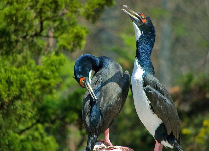 Guanay Cormorants <i>Phalacrocorax bougainvillii </i>
