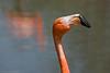American Flamingo  <i>Phoenicopterus ruber</i>
