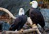 Bald Eagle <i>Haliaeetus leucocephalus</I>