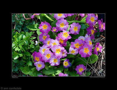 On the Primrose Path - Brooklyn Botanical Garden