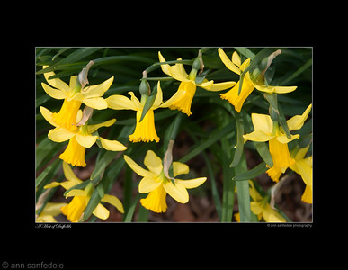 A host of Daffodils Narcissus - February Gold. Cyclamineus Daffodil