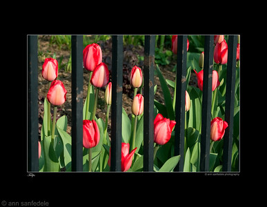 Prisoners of Tompkins Square Park - Tulips