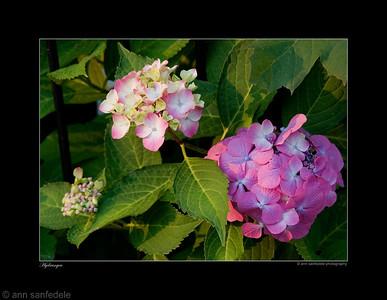 Hydrangea - Eastern Pennsylvania