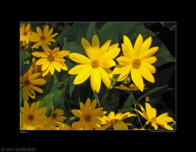 Yellow Daisies - Photoed in Toronto in 2004